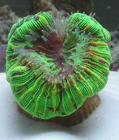 Saltwater Information – Large Polyp Stony (LPS) Corals Acan (Acanthastrea): From Midwest Corals From Midwest Corals From Midwest Corals From Midwest Corals From Midwest Corals Lighting: Curre… Ocean Flowers, Brain Coral, Under The Ocean, Live Coral, Marine Fish, Underwater Life, Stony, Natural Phenomena, Sea World