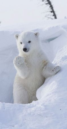 Cutie Baby Polar Bear Waving