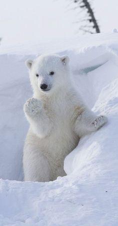 Cutie Baby Polar Bear Waving
