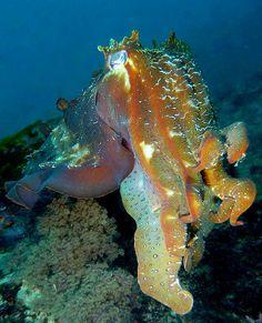 Giant Cuttlefish - Ulladulla | Flickr - Photo Sharing!