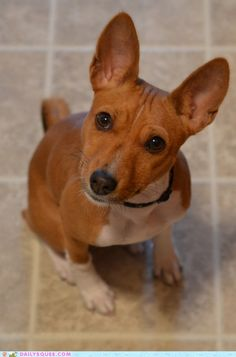 Pretty sure that Keebler is actually part Basenji