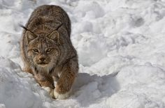 Canadian Lynx by Robert Postma - Photo 82059169 / 500px
