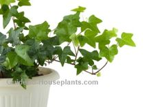 Growing English Ivy Plant Care - Hedera helix. Great website with indoor houseplant care tips.