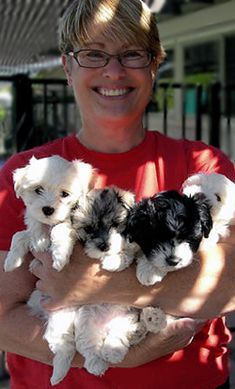 Havanese Puppies for sale in Arizona Havanese Breeders, Havanese Puppies For Sale, Havanese Dogs, Dogs And Puppies, Doggies, Malteser, Mans Best Friend, Cute Baby Animals, Fur Babies