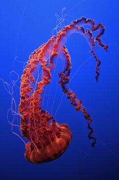Demon of the Deep  Beautiful large Jelly fish.