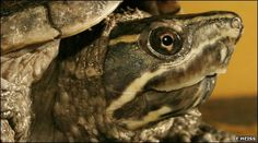 This is what pet i have its a Common Musk Turtles (: