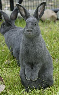 Silver Fox Rabbits ... looks like velvet.