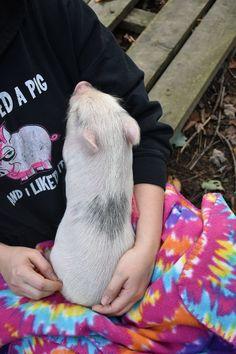 Available Piglets - Genuine Micro Mini Teacup Pet Pigs! Mini Piglets, Teacup Piglets, Cute Piglets, Cute Baby Pigs, Cute Baby Animals, Swine Flu, Pig Pig, Guinea Pigs, Animals Beautiful