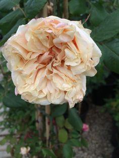Rosa 'Gloire de Dijon' www.filroses.com