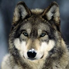 Eastern Gray Wolf (rare)