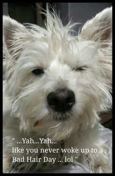 "Click visit site and Check out Best ""Westie"" Shirts. This website is superb. Tip: You can search ""your name"" or ""your favorite shirts"" at search bar on the top. West Highland Terrier, Highlands Terrier, Westies, Cute Puppies, Dogs And Puppies, Chihuahua Dogs, Doggies, Dog Pictures, Animal Pictures"