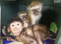 Baby Chacma Baboon and Vervets at the The Twala Trust Animal Sanctuary