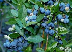 How to Transplant Blueberry Bushes Now is the ideal time to transplant overgrown blueberry bushes or expand or establish blueberry bushes in your yard. Use our guide to learn how! Fruit Tree Garden, Garden Trees, Fruit Trees, Garden Fences, Veg Garden, Blueberry Tree, Blueberry Bushes, Blueberry Flowers, Blueberry Salad