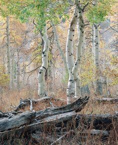 "allfilmeverything: "" Old Grove Aspen, Eastern Sierras Pentax 6x7 / Kodak Portra 160 """