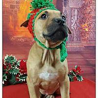 Pet Card American Pitbull Terrier Pitbull Terrier Bull Terrier Mix