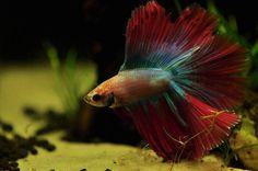 Betta Fish Aquarium Care