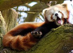 i can't deal with how cute red pandas are...36 Red Pandas Taking Advantage Of The Sleepy Season