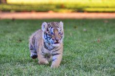 Tomo the Tiger Cub #emilyjeanmaplesphotography