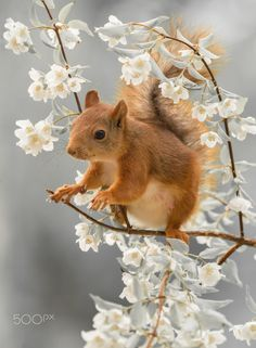 close up of red squirrel standing on branch with jasmine flowers