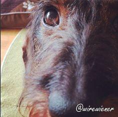 Mosse wirehaired dachshund close up Instagram @wirewiener , #wirewiener #mossepuppy #Mosse #Remu