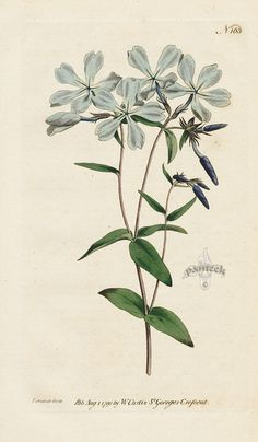 Phlox Divaricata. Early-Flowering Lychnidea. from William Curtis Botanical Magazine 1st Edition Prints Vol 1-6 1787