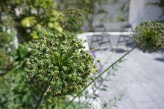 Allium 'Purple Sensation', Agata Byrne, award winning garden designer, landscape architect, coastal residential garden, Sandycove, Ireland, July 2014