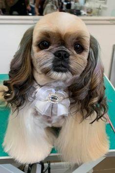 Dog Grooming Styles, Puppy Grooming, Dog Dye, Creative Grooming, Dog Haircuts, Hair Chalk, Shih Tzus, Hair Color, Asian