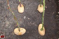 bouture de rosier à faire sur des pommes de terre mars-avril