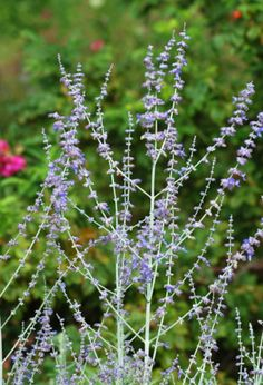 Russian sage is sometimes used as a substitute for lavender, in conditions not conducive to growing that fragrant herb. This tall plant is well worth growing in its own right, though: http://landscaping.about.com/od/colorfulflowers/ig/lavender-flowers/russian_sage_lavender_large.htm