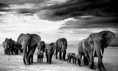 549e641bf4b De grote kudde Fotografie van David Yarrow ♥ Wildlife Photography
