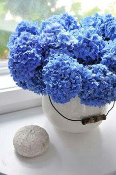 Blue hydrangeas ~ perfect coastal accent
