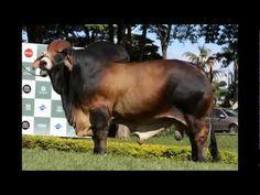 ASÍ DEBE ENGORDAR SU GANADO  El negocio de cebar o engordar ganado bovino consiste en llevar a la finca terneros destetados (de un año de edad y unos 180 kilos de peso, aproximadamente), suministrarles pasto, agua, sal y algún suplemento (si lo requieren), para que a los dos años  de edad el animal alcance un peso de 480 kilos. (VER CUADRO: Agend...