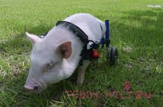 Pig In A Wheelchair Inspires Us All!!! Amazing!!!
