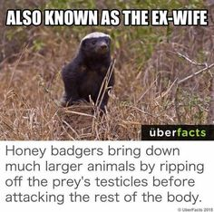 Also known as the ex wife – honey badger meme - Meme Collection Funny Animal Memes, Funny Animals, Cute Animals, Funny Memes, Memes Humor, Large Animals, Animals And Pets, Honey Badger Humor, Humor
