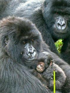 Mountain Gorilla family: mom cradles the infant Primates, Mammals, Gorillas In The Mist, Baby Gorillas, Cute Baby Animals, Animals And Pets, Funny Animals, Strange Animals, Beautiful Creatures