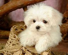 Maltese puppy--this is what I want now, maybe a male to mate with my yorkie White Puppies, Fluffy Puppies, Super Cute Puppies, Cute Dogs, Adorable Puppies, Mini Malteser, Maltese Dogs, Baby Maltese, Maltese Facts