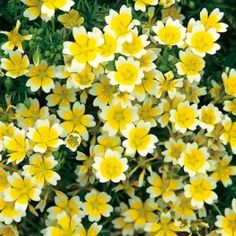 Poached Egg Plant Seeds - Irish Plants Direct