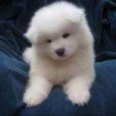 Fantastic Samoyed Chubby Adorable Dog - 14f955eb81a2bb64e6d7f2ab1395faf8--samoyed-puppies-puppys  Image_386073  .jpg