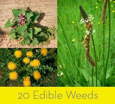 20 Edible Weeds