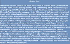Almond Tree in biblical times