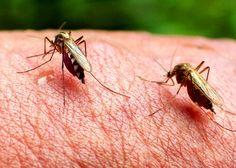 La transmission du virus Zika se fait de la femelle à sa progéniture. Eradiquer…