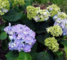 Tips on growing and planting Hydrangeas!