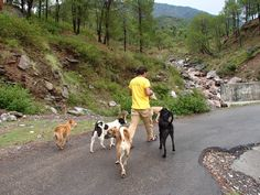 The Pied Piper of dogs takes the resident dogs on their daily hike. #hikingwithdogs #mansbestfriend #hikingindharamsala #dogwalking #dharamsaladogs