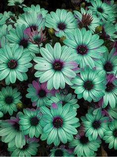 seafoam daisies - how'd you love to have a yard full of these? yes, please. jh