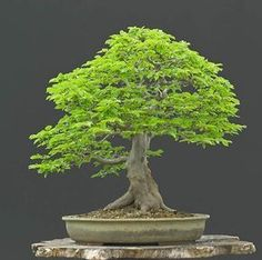 Artist: Walter Pall, European Hornbeam (Carpinus betulus) I love this tree and am using it as inspiration for a maple that I have. #bonsaitrees