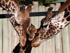 As girafas Buddy e Jacky compartilham momento de carinho com seu filhote de seis dias, em Buenos Aires, na Argentina. O zoológico lançou um concurso para escolher o nome do bebê