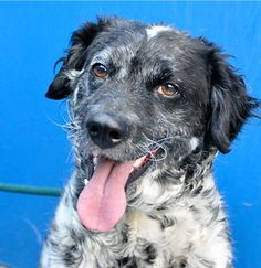 """Cayenne ID#15-01917 3 Years Old Female Retriever Mix Hi, I'm Cayenne! I'm a super unique black and white spotted Retriever Mix. I can """"sit"""", """"lay down,"""" and I'm fantastic on leash, so we can go for awesome walks in the park. Oh, and I have pretty cool all-white whiskers, too! I'd be best for that special someone with previous dog experience. I hope you and I can be best buds. Come visit me at the PetSmart Charities Everyday Adoption Center in Pico Rivera!"""