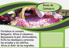 Rosa de damasco # گل محمدی # Damask rose Barcelona, Damascus, Pink, Relaxer, Barcelona Spain