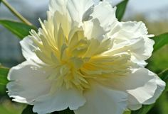 Peony Primevere - extra large flowers, fragrant