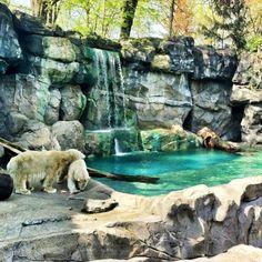Polar Bears at the #Cincinnati #Zoo & Botanical Gardens